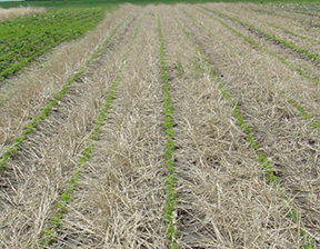 soybean growing through winter rye cover crop residue